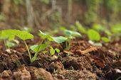 foto of germination  - Germination is the new life of green seedlings - JPG