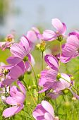 picture of cosmos  - Cosmos Flowers - JPG