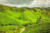picture of cameron highland  - Green tea farm in Cameron Highland Malaysia Asia - JPG