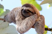 image of rainforest animal  - baby sloth poses for the camera on the tree - JPG