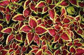 picture of nettle  - Coleus leaves  - JPG
