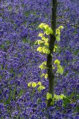 image of harebell  - Beautiful morning in Spring bluebell forest detail landscape - JPG
