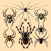 picture of black widow spider  - Realistic images of spiders - JPG