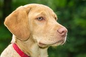 image of labradors  - Head of Young Golden Labrador Retriever Dog - JPG