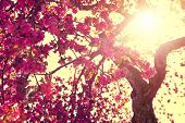 pic of sun flare  - Spring Nature background blooming tree over sunny sky - JPG