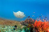image of manta ray  - Large Manta Ray swimming over a tropical coral reef - JPG