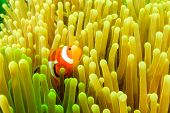 image of plankton  - Clownfish in its host anemone during a plankton bloom on a tropical coral reef