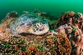 picture of green turtle  - Green Turtle sleeping on a tropical coral reef on a dark murky afternoon - JPG