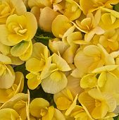 picture of begonias  - vibrant yellow begonias bunch closeup natural background - JPG