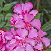 foto of oleander  - oleander natural bouquet closeup in the garden - JPG