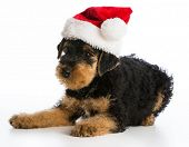stock photo of christmas puppy  - christmas puppy  - JPG