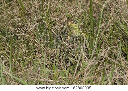 Sand lizard - Lacerta Agilis- watching