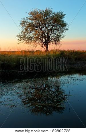 Sunset with silhouetted Acacia tree and reflection in water, southern Africa