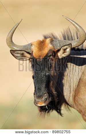 Portrait of a blue wildebeest (Connochaetes taurinus), Kalahari desert, South Africa