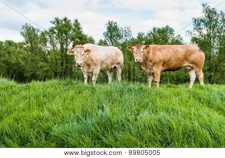 Brown Cows Standing On A Dike