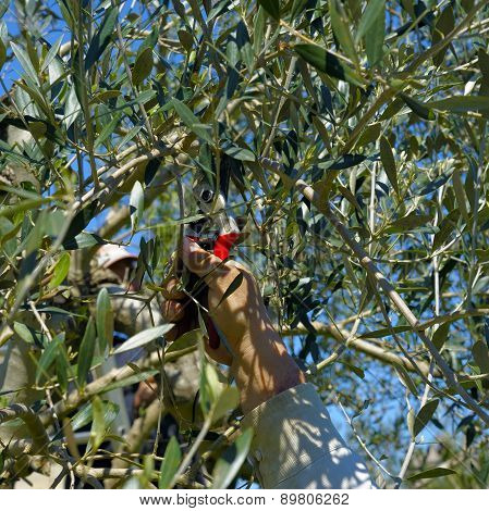 Pruning olive tree of apulia