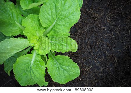 Fresh And Green Vegetable Leaves In Home Garden Planting