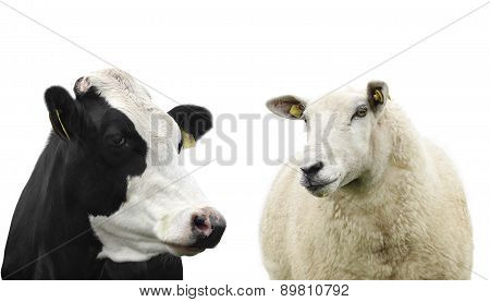 Cow And Sheep Isolated