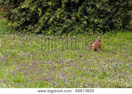 Wild hare in green grass