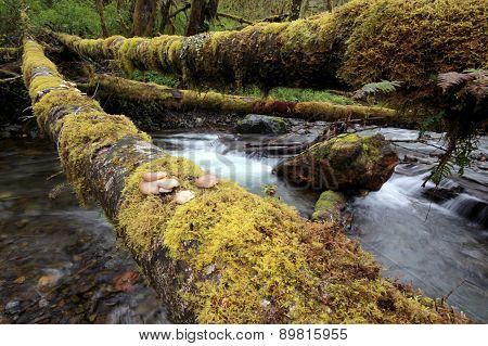 Oyster Mushrooms on a Log Across a Creek
