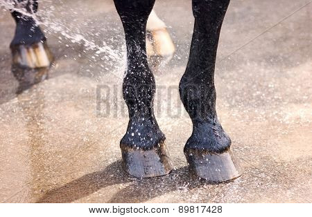 Washing Of Feet And Hooves Horse Closeup