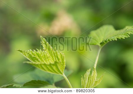 Young Leaves Of Red Currant Close Up