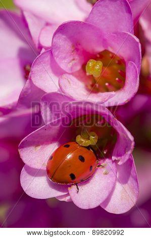 Ladybug Inside Pink Flowers