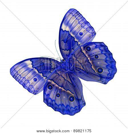 Cambodian Junglequeen Butterfly (stichophthalma Howqua)