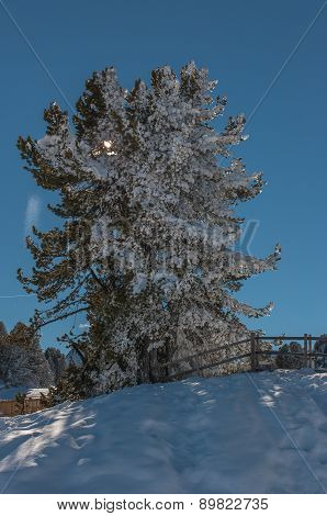 Alpine tree - Mayrhofen, Austria.