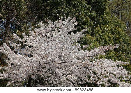 Tokyo Springtime