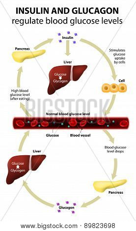 Insulin And Glucagon