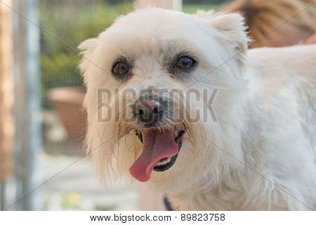 Maltese Dog Portrait. Horizontally.