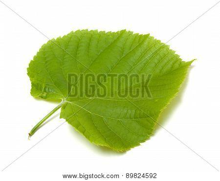 Spring Tilia Leaf On White Background