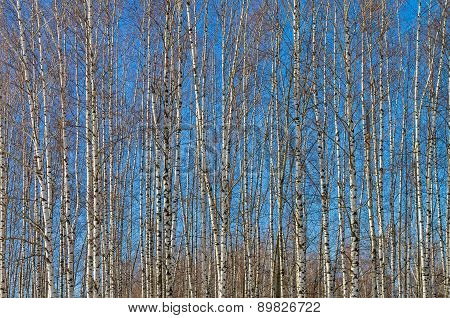 The Slender Trunks Of Young Birches Against The Blue Sky.