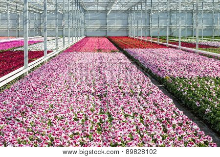 Cultivation White And Purple Geraniums In A Dutch Greenhouse