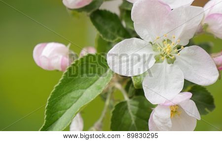 Blossoming apple. Branch of apple tree in bloom in the spring. Close-up