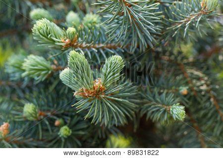 Pine tree.