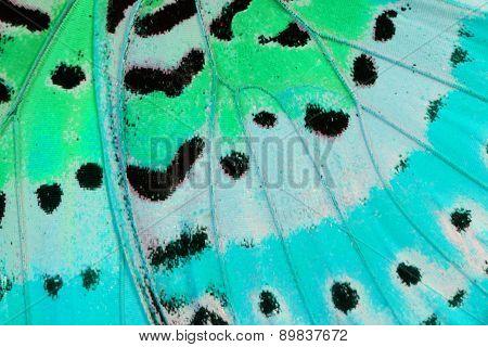 Leopard Lacewing Butterfly (cethosia Cyane)
