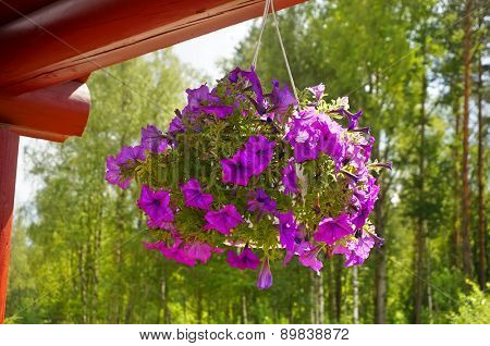bouquet of flowers in a pot hanging Petunia  in the courtyard in summer sunny day