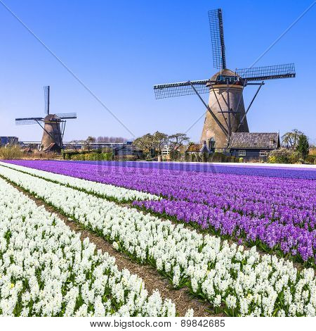 Holland countryside - windmills and blooming flowers