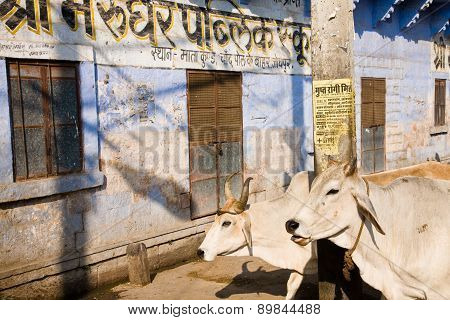Indian Cattle In City