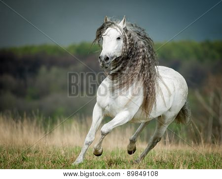 Running Free Andalusian Horse Against Stormy Sky Background
