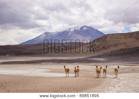 Group of Vicunas in the altiplanos - Bolivia