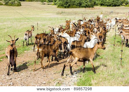 herd of goats on pasturage, Aveyron, Midi Pyrenees, France