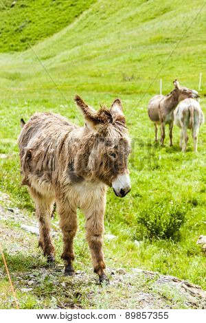 donkeys on meadow, Piedmont, Italy