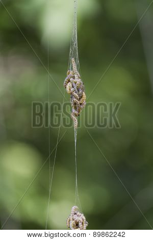 Caterpillars Infesting In Pockets Of Spider Web