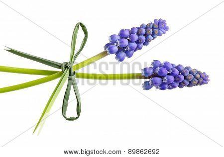 Two Grape-hyacinth Flowers