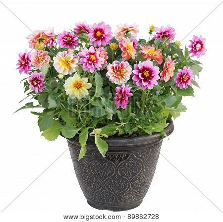 Dahlia Flower In Pot