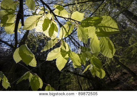 Light Green Beech Leaves