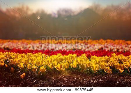 Tulip Field In Full Blossom At Sunrise